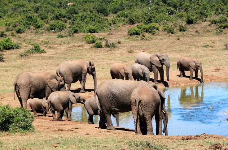 elephant-241624_1280
